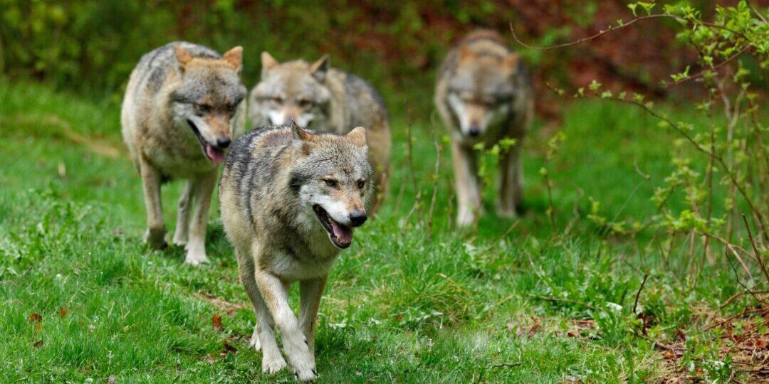 Wie der Wolf zurückkehrt. [video]