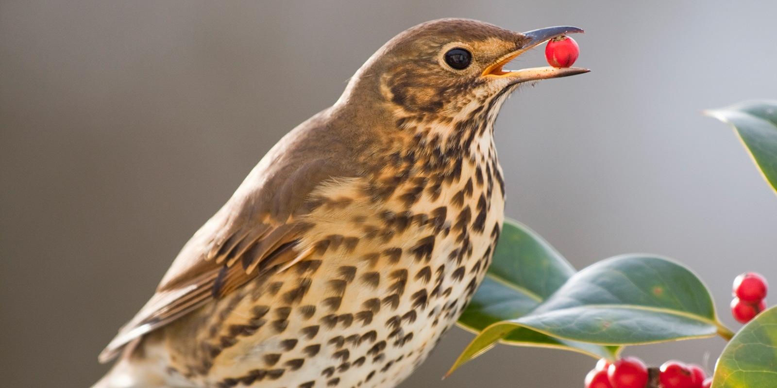 Zugvögel pflanzen keine Wälder [video]