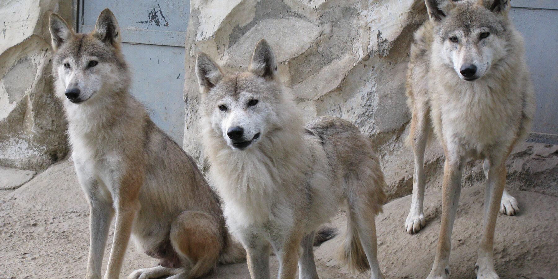 Die Farben der Wölfe